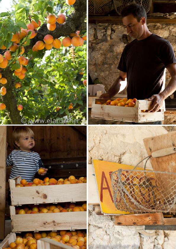 1-aprikose